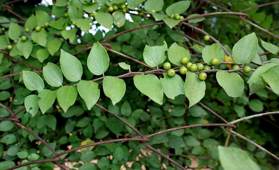 JUJUBE-- Part used :- :eaves Fruit.