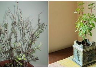How a Tulsi plant in your home can predict your future!