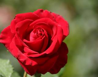 Love is a Rose Flower