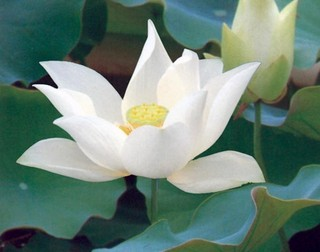 'Pure White Lotus', the poem