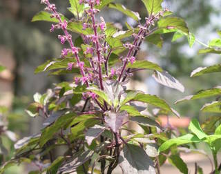Tulsi-our Life-Guard medicinal herb a must have in every Indian Home