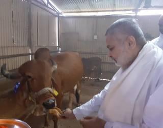 Brahmachari Girish Ji has visited gaushala, did gaupujan and offered them puri, laddu and balushahi.