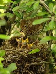 Dharma – devotion : Example of mother bird feeding