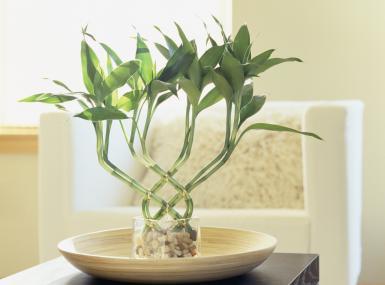 Feng Shui Bamboo Plant