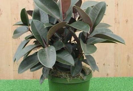 rubber plant in common language