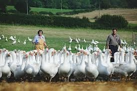 A farmer driving a bunch of geese from behind