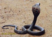 Cobra Fight